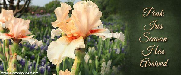 Peak Iris Season